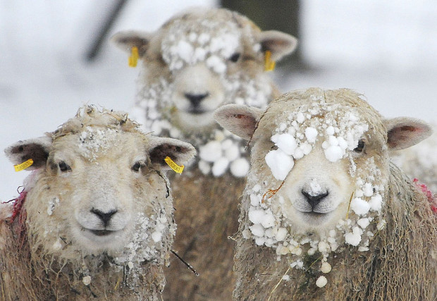 Sheep are seen covered in snow in Helperby